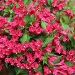Фото 2: Малиновый цвет вейгелы
