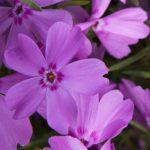 Фото 6: Уход за красивыми цветами флоксами