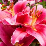 Фото 13: розовые цветы
