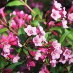 Фото 6: Розовая вейгела