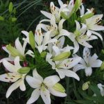 Фото 4: Белые садовые лилии