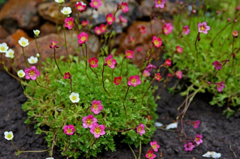 Цветение цветка камнеломки
