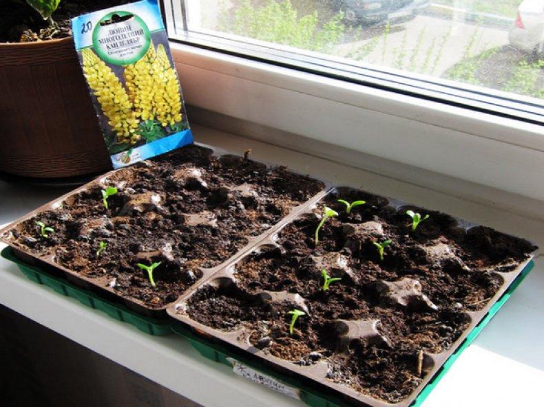 Размножение люпина семенами