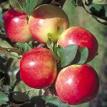 Фото 12: Яблоня медуница ранняя