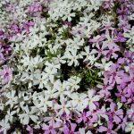 Фото 26: Соцветие многолетних флоксов