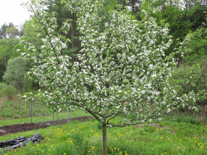 Как цветет яблоня медуница