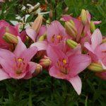 Фото 8: темно розовые лилии