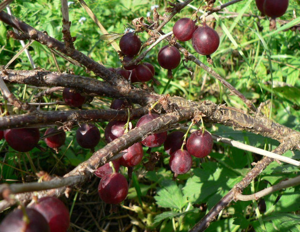 Спелые ягоды крыжовника