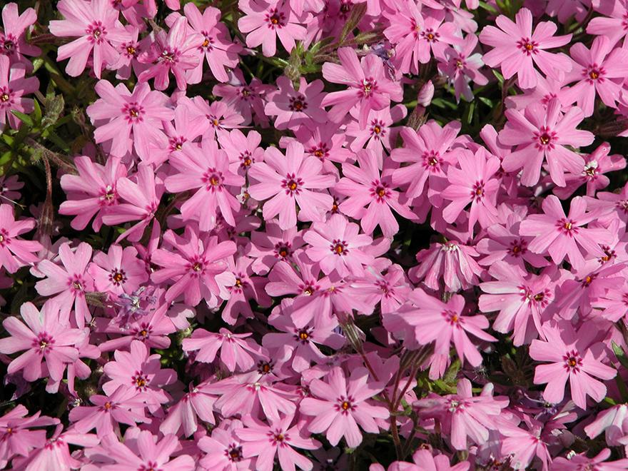 Красивые шиловидные многолетние растения - флоксы