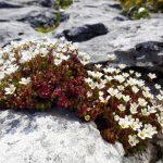 Фото 56: Камнеломка среди камней
