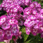 Фото 3: Многолетние цветы