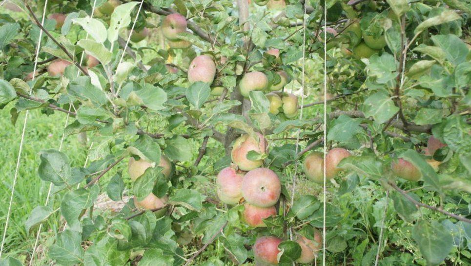 Привязываем яблоню правильно