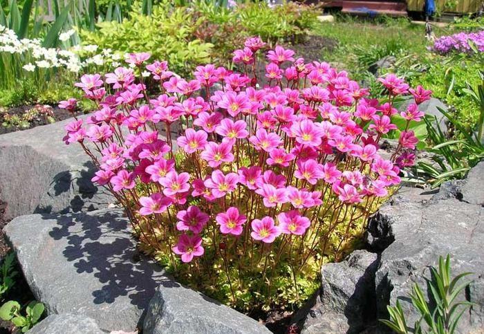 Розовый красивый цветок камнеломка