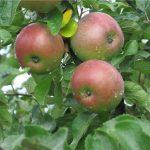 Фото 38: Яблоня медуница