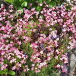 Фото 43: Соцветие камнеломки