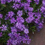 Фото 60: Красивые многолетние цветы