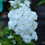 Фото 18: Белые цветы
