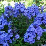 Фото 20: Синие флоксы