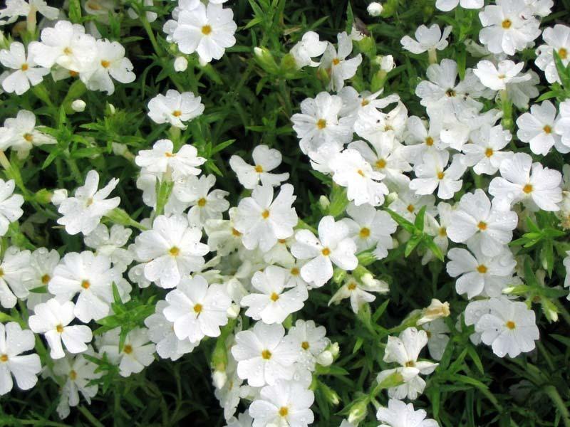 Белые флоксы после росы