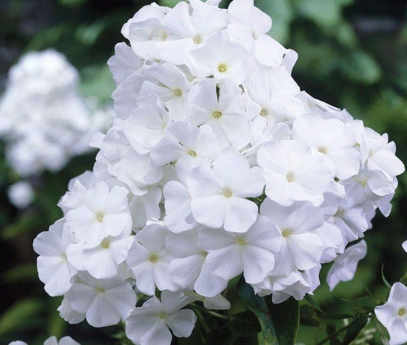 Белые многолетние флоксы
