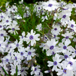 Фото 37: Соцветие флокса