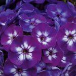 Фото 33: Фиолетовые флоксы