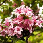 Фото 21: Розовая вейгела