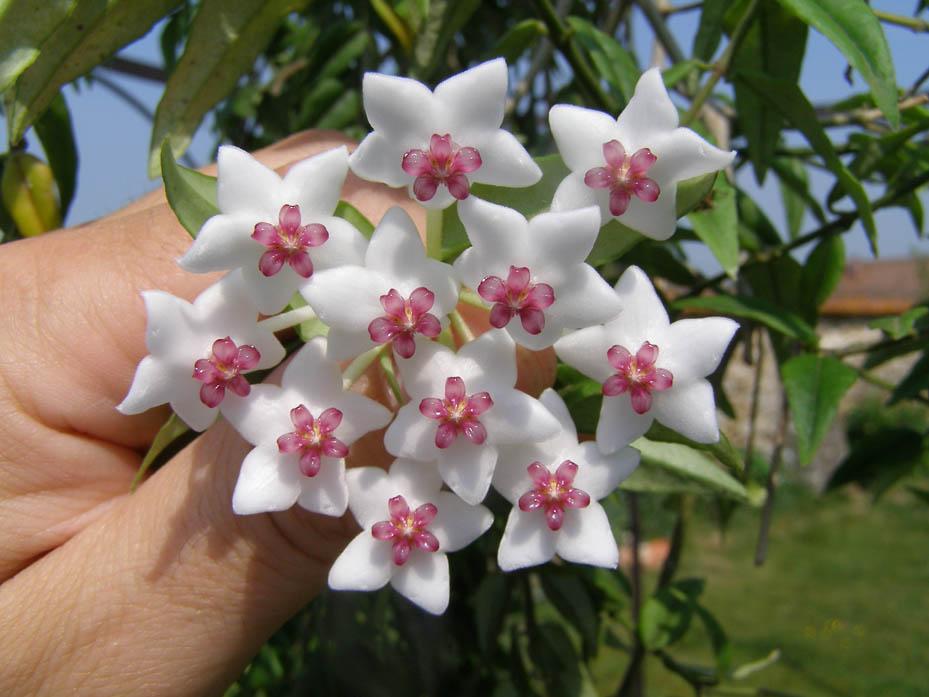 Красивый цветок хойя