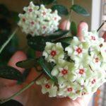 Фото 47: Цветок хойя