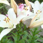 Фото 38: посадка белых лилий
