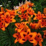 Фото 41: оранжевые лилии