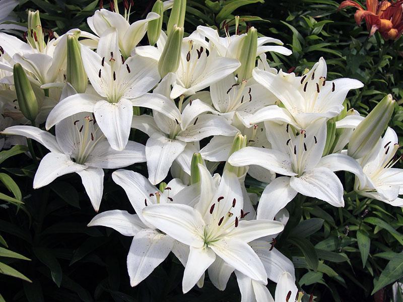 Белая садовая лилия
