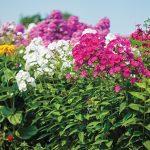 Фото 41: Флоксы в саду