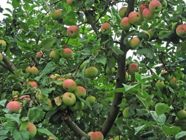 Богатый урожай яблони медуницы