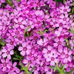 Фото 49: Цветение шиловидного флокса