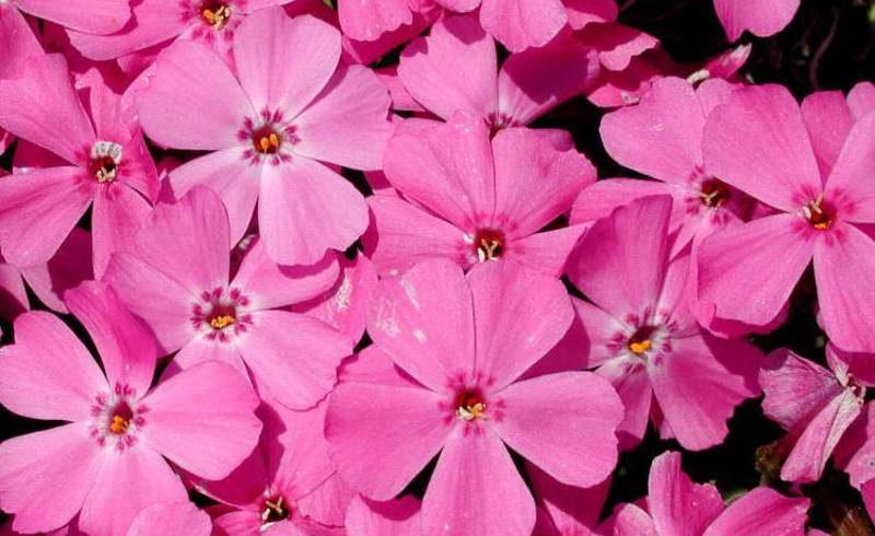 Выращивание и уход за шиловидными флоксами