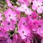 Фото 48: Розовые флоксы