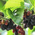 Фото 61: Плоды шелковицы