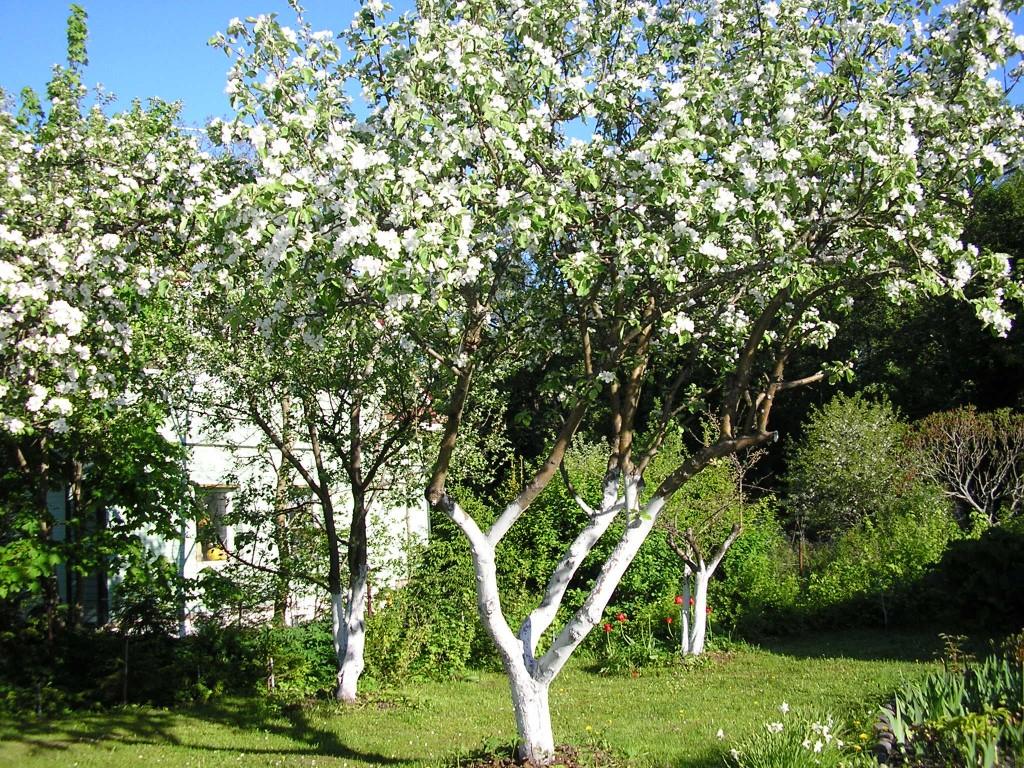 Все о плодожорке на яблоне и методах борьбы с ней