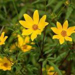 Фото 46: полезные свойства травы череды