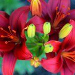 Фото 52: прекрасная лилия