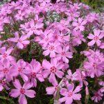 Фото 66: Розовые шиловидные флоксы