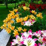 Фото 54: Кустовые лилии