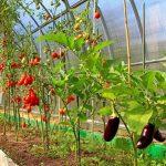 Фото 50: Как баклажаны растут с другими овощами в теплице