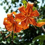 Фото 57: оригинальная лилия