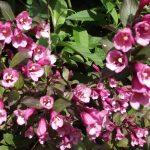Фото 52: Розовая вейгела