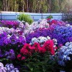 Фото 57: Флоксы в саду