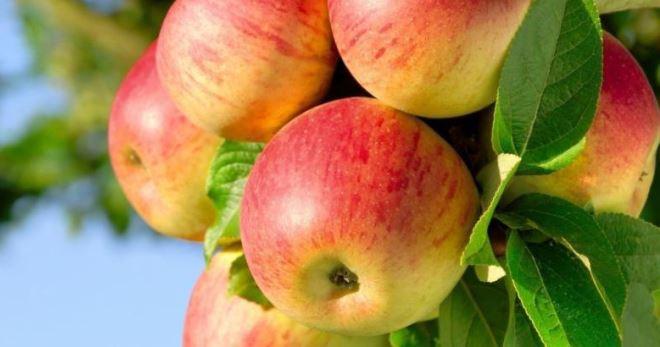 Сорт яблони медуницы