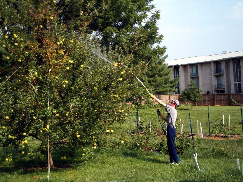 Обработка яблони в саду