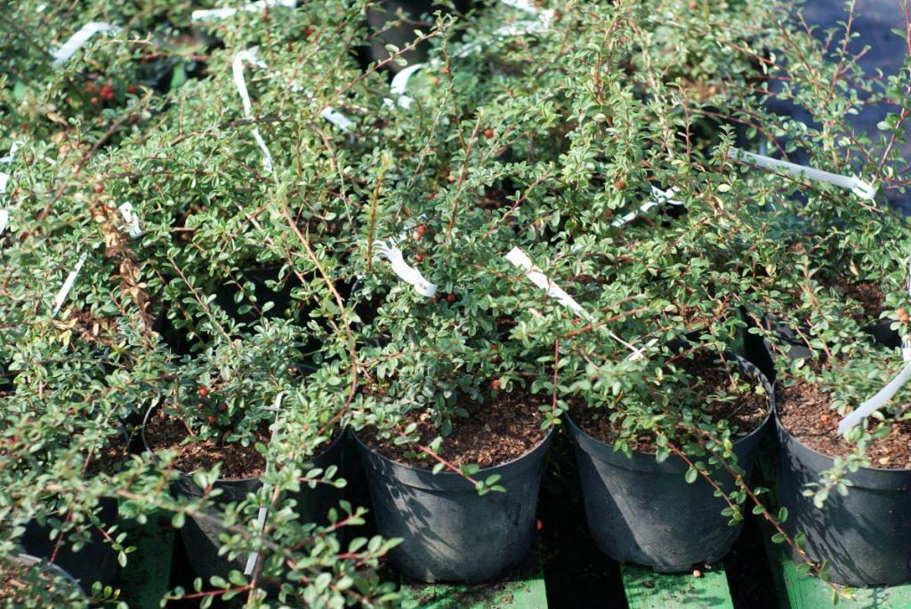 Кизильник: описание кустарника, популярные разновидности, особенности посадки и ухода, фото